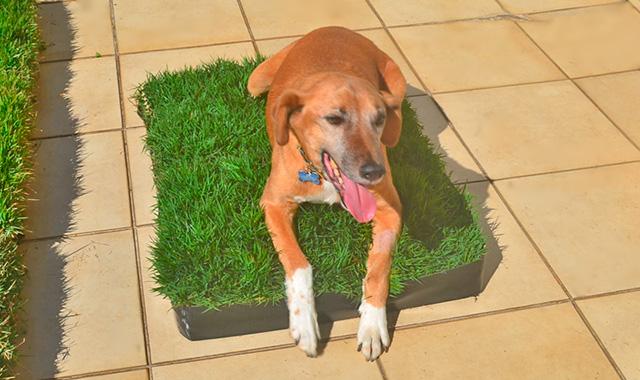 Dog Grama – O módulo de grama natural perfeito para o seu cachorro!